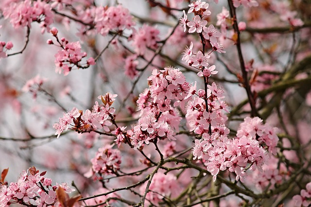 mandlový květ.jpg